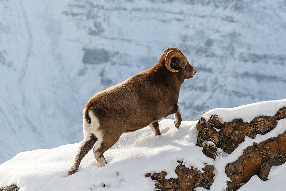 Путоранский снежный баран