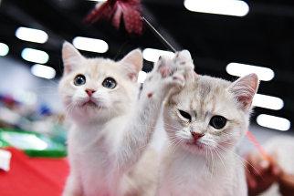 Кошки породы британская на международной выставке Звезда 2018 в Москве