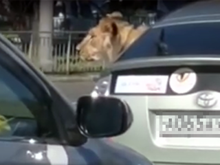 Лев в салоне автомобиля во Владивостоке