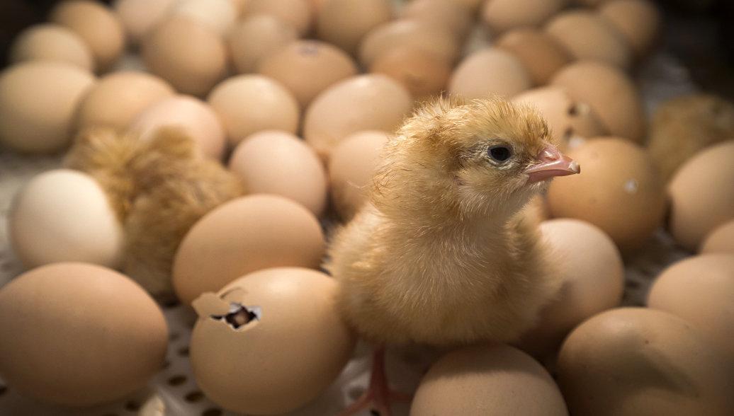 Цыплята в инкубаторе на сельскохозяйственной ярмарке в Париже