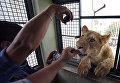 Мужчина играет со львом в доме в Мехико