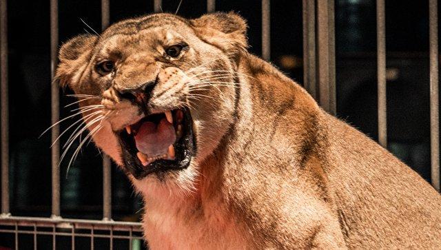 Эксперт назвал возможную причину нападения львицы на ребенка на Кубани