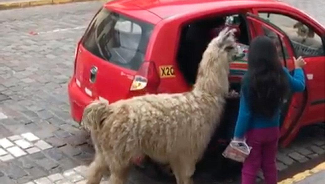 Кадр из видео, на котором альпака садится в такси в Перу