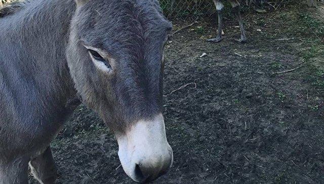 """Американские зоологи нашли """"конкурентов"""" козла Тимура и тигра Амура"""