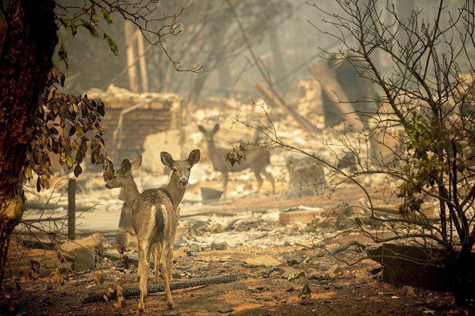 Олени гуляют возле сгоревшего дома в Калифорнии