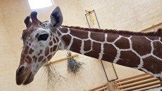 Жираф по кличке Сафари в зоопарке Белгорода