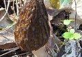 Сумчатый гриб