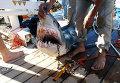 Поймана акула, нападавшая на купающихся на пляже Шарм-эш-Шейха