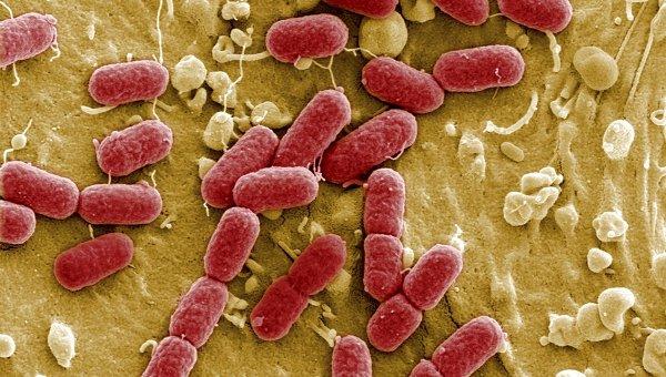 Энтерогеморрагическая бактерия Escherichia coli (EHEC) под микроскопом