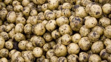 Картофель. Архивное фото