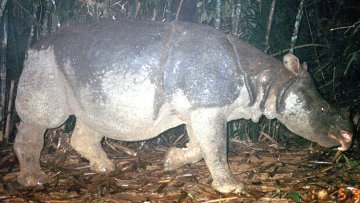 Яванские носороги. Архив