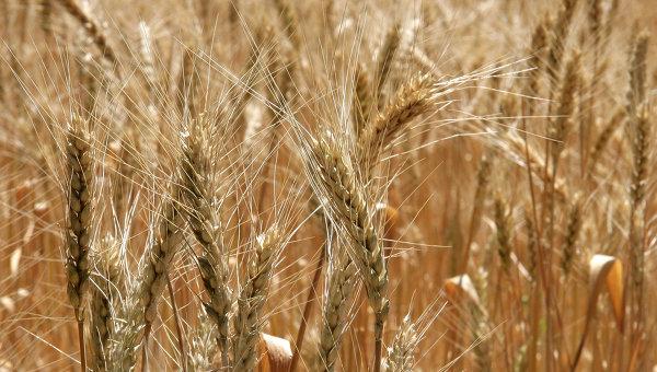 Пшеничное поле. Архивное фото