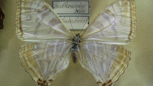 Бабочка Morpho sulkowskyi, чьи крылья стали основой для сверхчувствительного датчика тепла