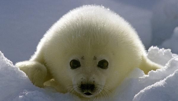 Белек, детеныш гренландского тюленя. Архив