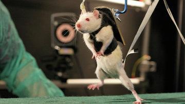 Крыса-паралитик тренирует свои нервные клетки при помощи робота-тренажера