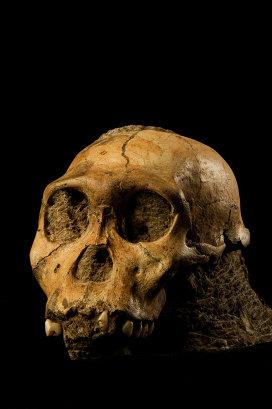 Череп австралопитека седиба, обнаруженный в южноафриканской пещере Малапа