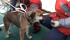 Собаку, которая три недели дрейфовала на обломках дома, спасли в Японии