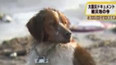 Бесконечная верность собак, выживших после цунами в Японии
