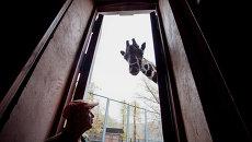 Жираф Самсон из Московского зоопарка. Архивное фото