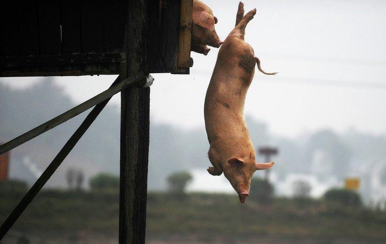 Китайский фермер научил своих свиней прыгать с вышки