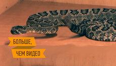 Дойка ядовитых гадюк и жизнь в змеиных коммуналках. Интерактивный репортаж