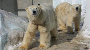 Белые медведи Кай и Герда в зоопарке Новосибирска