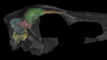 Трехмерная модель мозга пернатого динозавра занабазара