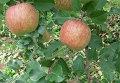 Глобальное потепление может сделать яблоки более сладкими, но менее кислыми и плотными