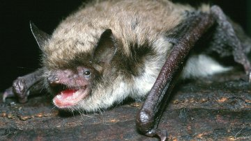 Ночницы Брандта могут прожить около 40 лет, несмотря на массу тела в 6-8 грамм