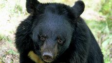 Гималайский медведь. Архивное фото