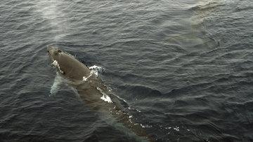 Малый полосатик, или кит Минке. Архивное фото