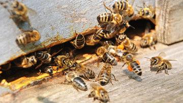 Пчелы, архивное фото