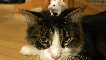 Мышь, вылеченная от токсоплазмоза, не потеряла своего бесстрашия перед запахом и видом кошек