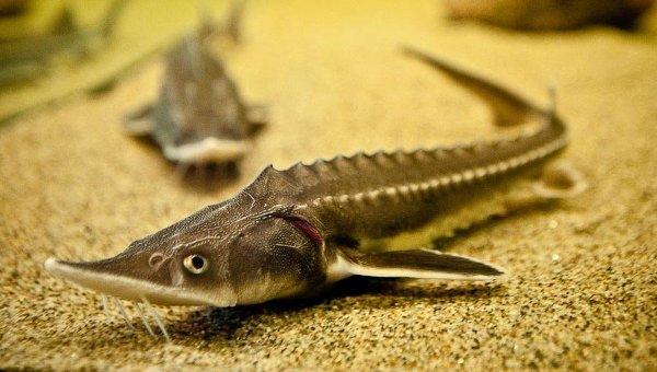 Аквариум осетровых рыб, архивное фото