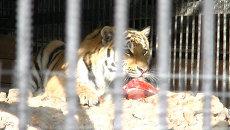 Амурский тигр полакомился тортом в Красноярске