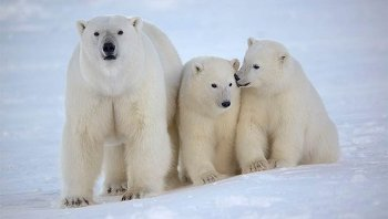 Белые медведи, архивное фото