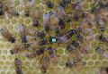 Королева-матка в окружении рабочих пчел