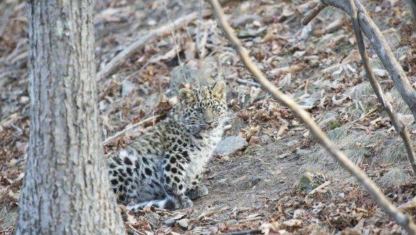 Котенок дальневосточного леопарда в Приморье