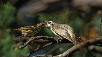 Певчая птица кормит кукушонка, архивное фото