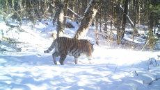 У тигрицы Золушки нашли еще одного котенка