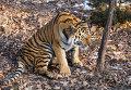 Тигр Амур в Приморском сафари парке.